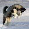 Eskimo Huskies